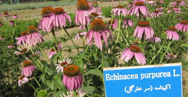 ایستگاه تحقیقات گیاهان دارویی علی آباد