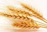 معرفی گندم دیم نان رقم سائین  ( Azar2/ 87 Zhong 291 )