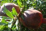 دستورالعمل کنترل آفتاب سوختگی میوه انار