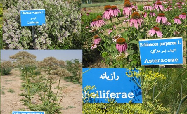 برخی از ارقام گیاهی کلکسیون گیاهان دارویی ایستگاه تحقیقات علی آباد اراک
