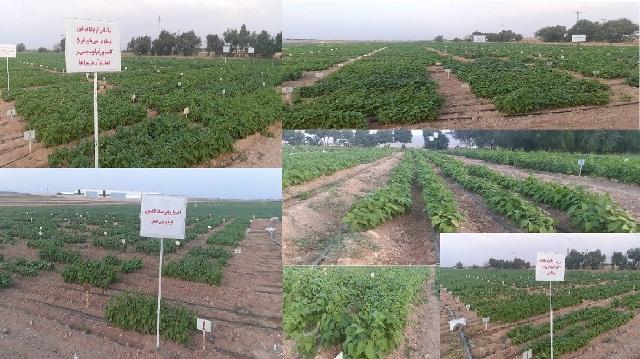طرح های تحقیقاتی و مزارع پژوهشی پردیس تحقیقات و آموزش لوبیا خمین